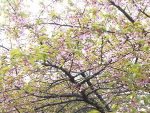 桜の開花と事務所現状