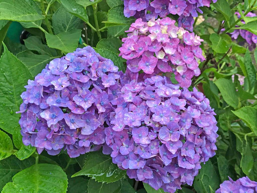 ログハウス,紫陽花